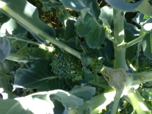 A close up of the side-shoots we get after the main broccoli is harvested. These look healthy and tasty!