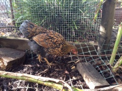 Cricket's plumage is becoming more like a mature hen