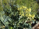 Broccoli flowers are blooming