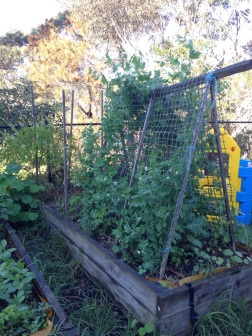 Peas growing over the trellis
