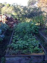Broad beans in a staggered planting