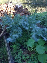 Patch of broccoli bolting to seed