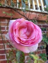 Climbing rose bloom