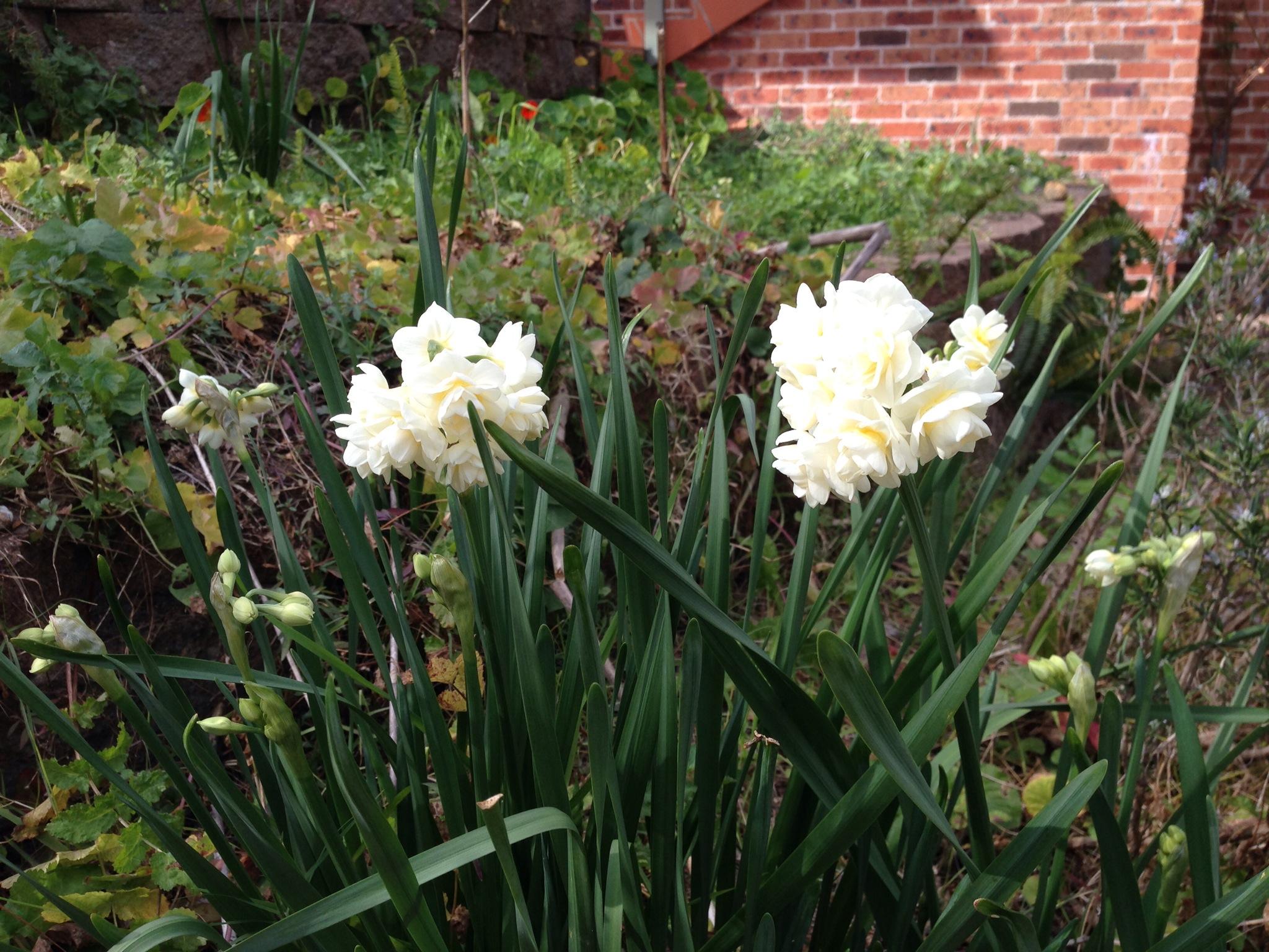 Jonquils are flowering