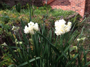 Jonquils are flowering