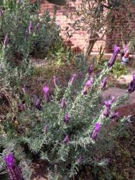 Italian lavender