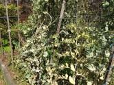 Powdery mildew on climbing peas