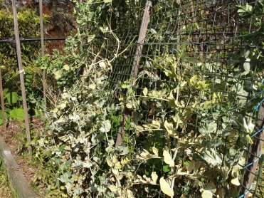 Powdery mildew on climbing peas