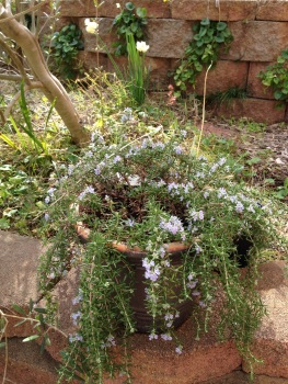 The prostrate Rosemary is looking lovely with pale purple flowers. It is doing much better than the culinary rosemary in the garden bed!