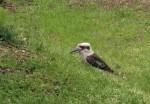 Kookaburra snacking