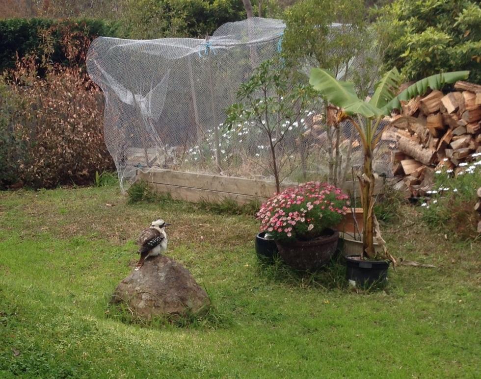 A kookaburra perching on a rock in our yard.
