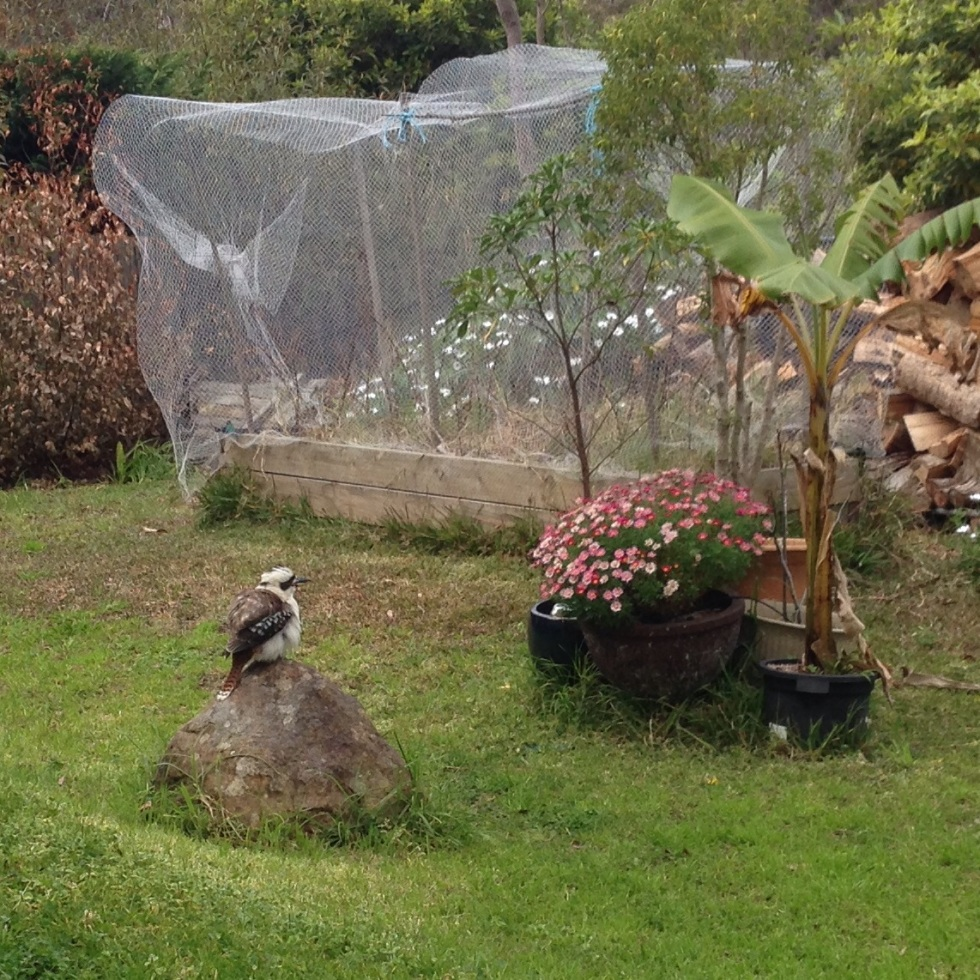 A kookaburra perching on a rock in our yard.