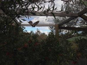 Bird flying crazily in the coop
