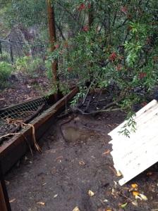 Pools of water in the dirt floor of the chicken coop