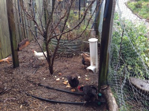 Chickens scratching for scraps and grain in the orchard