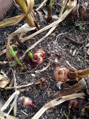 Queensland Arrowroot shoots