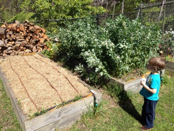 The newly mulched tomato bed