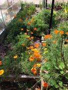 Coreopsis growing wild on our path
