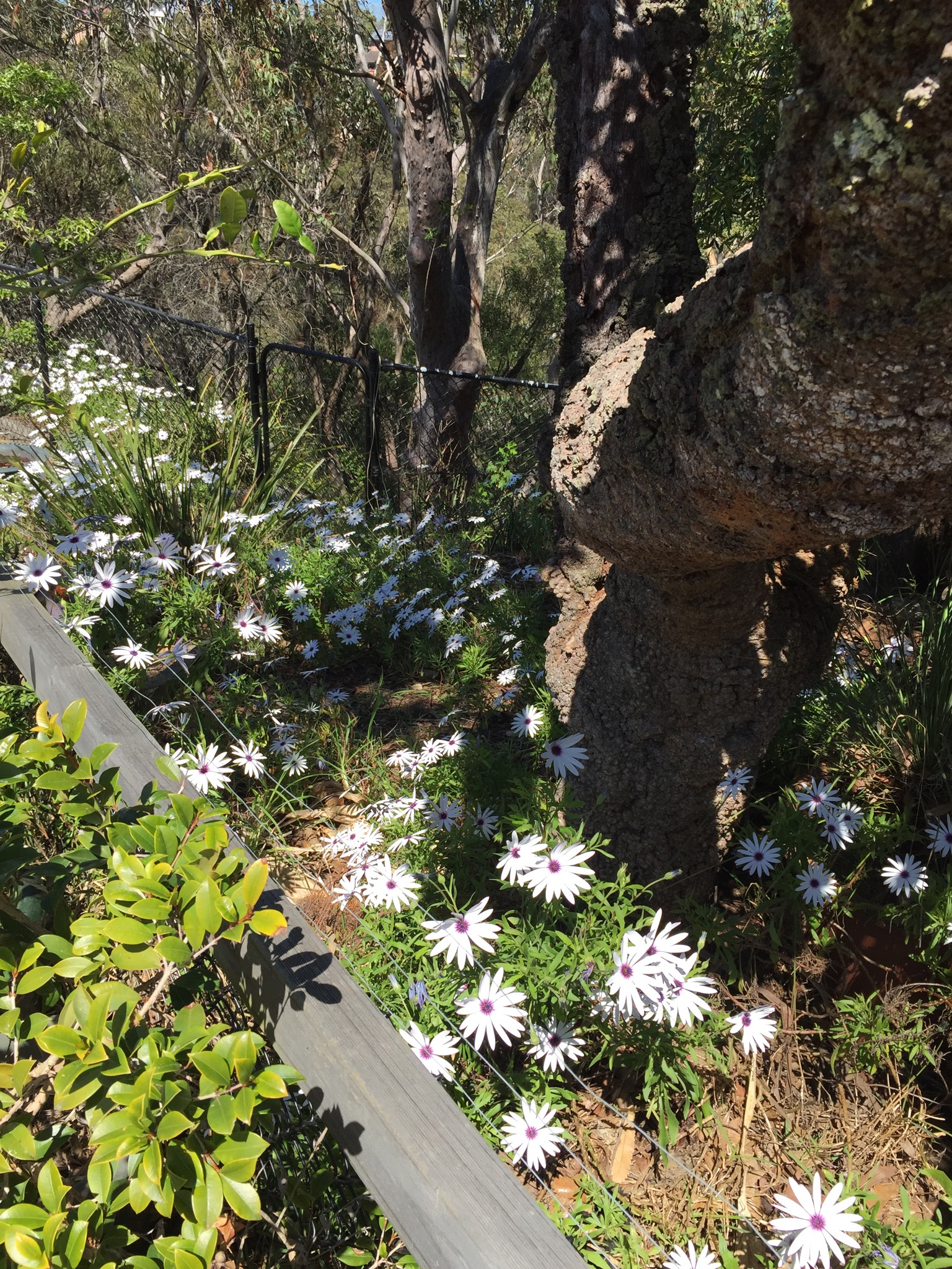 African Daisies in our Wilderness