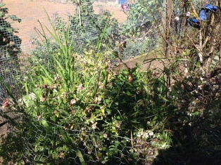Blueberry plants in need of a weed