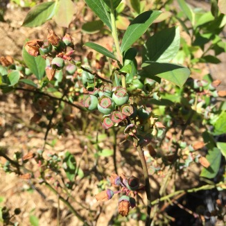 Young blueberry fruit