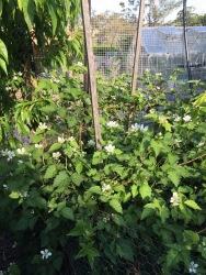 Flowering Boysenberries