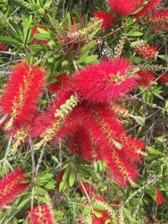 Lovely red bottlebrush flower