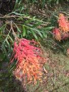 Orange red grevillea