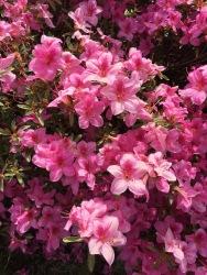 Pink Azalea blooms