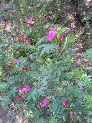 Legume or pea flower