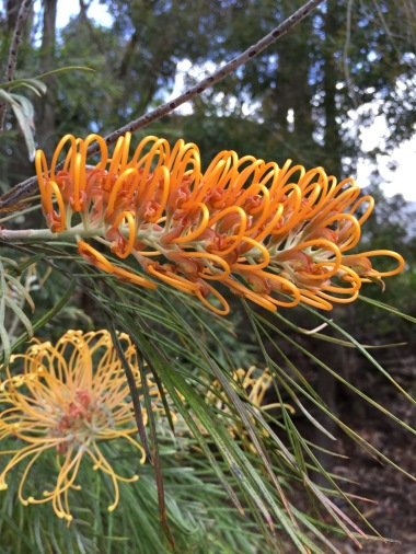 Grevillea with tendrils curled up
