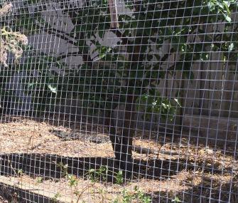 Goanna in the orchard