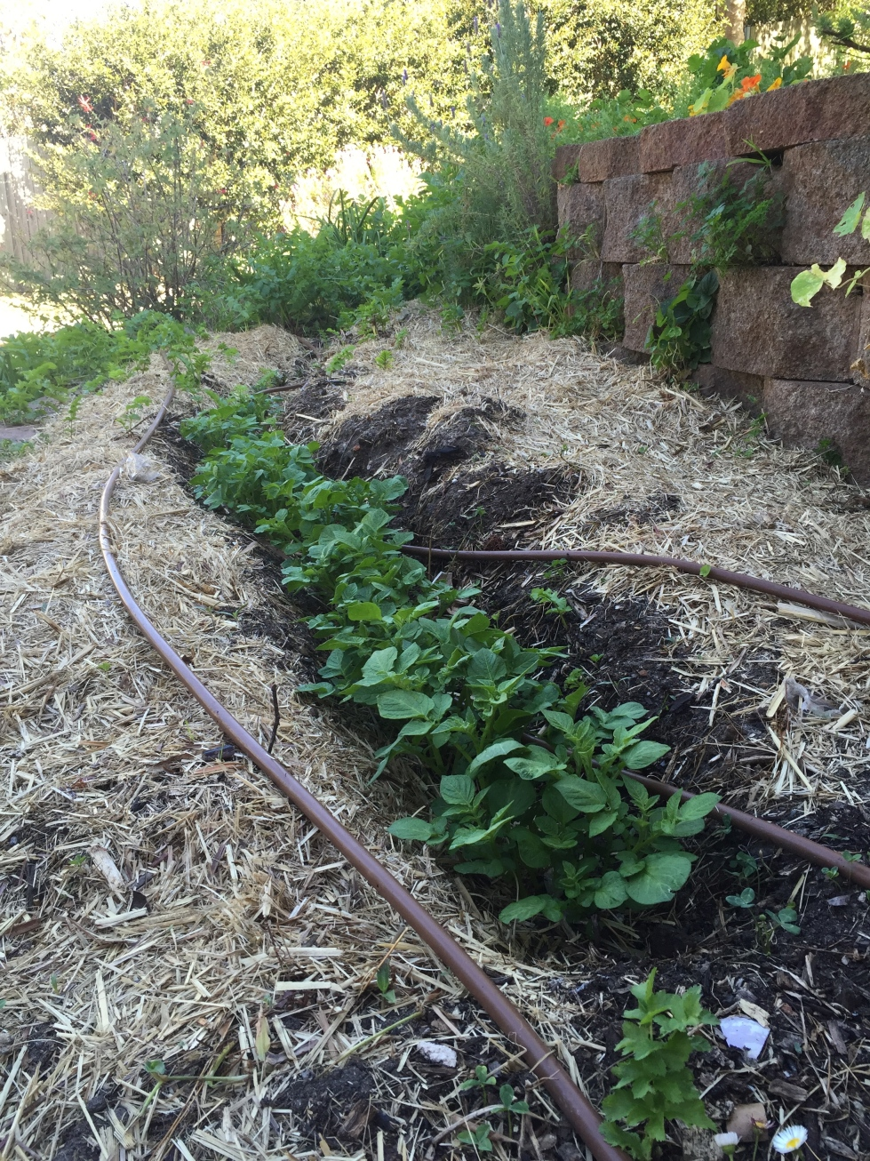 Potatoes shooting out the trench