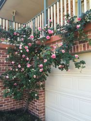 Climbing rose, just starting to flower