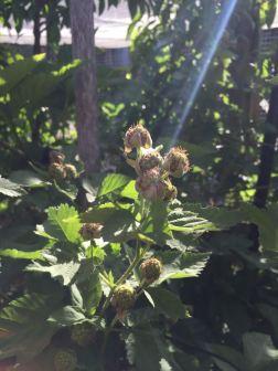 First Boysenberries