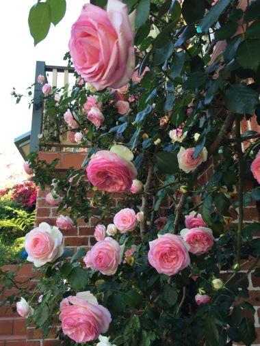 Those beautiful roses, up close