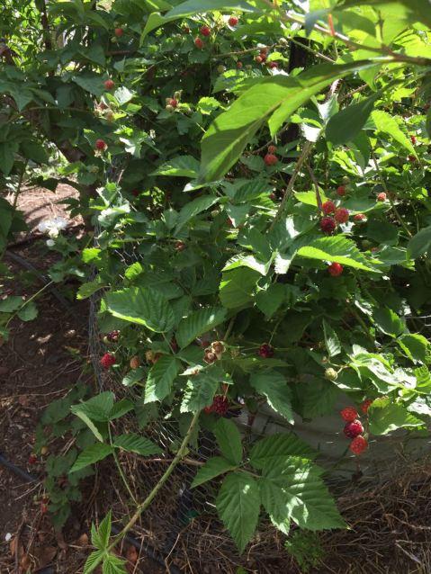 Boysenberries ripening