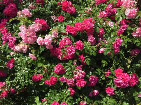 Spectacular bush rose