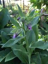 Flowering Comfrey