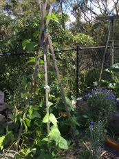 Beans: climbing to top of trellis