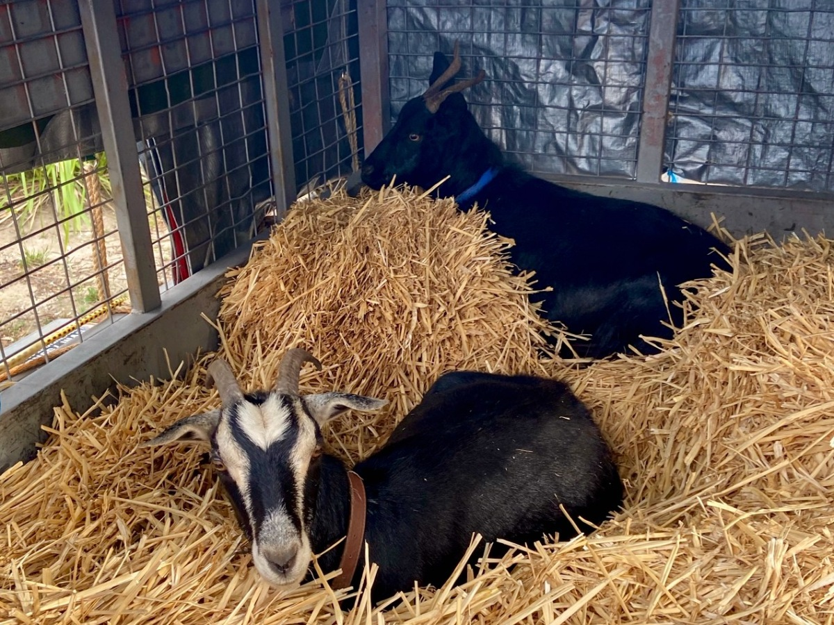 Two goats in a box trailer filled with straw and covered with a tarpaulin